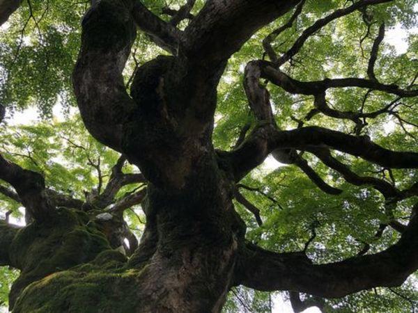 樹齢約六百年